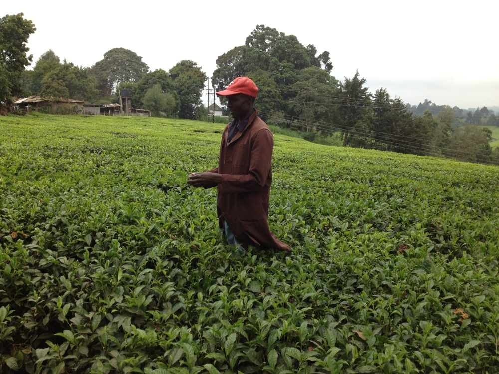 Kenya Tea Farm